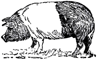 Collier's_1921_Hog_Hampshire_Hog