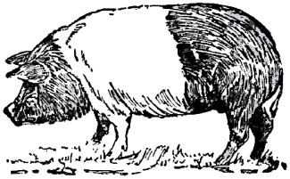 Collier's_1921_Hog_Hampshire_Hog